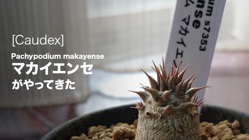 人気の塊根植物(Caudex)、パキポディウム・マカイエンセ購入アイキャッチ